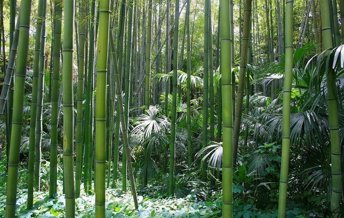 La foret de bambou d'Anduze